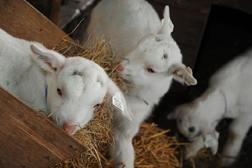 White Horse Show - Uffington - Oxfordshire - County - Country - Show - cuddle-a-goat-at-farmer gows